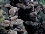 武夷山自然保护区野生椴木黑木耳