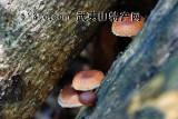 武夷山自然保护区野生香菇