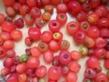 武夷山红豆杉果实 红豆杉鲜果